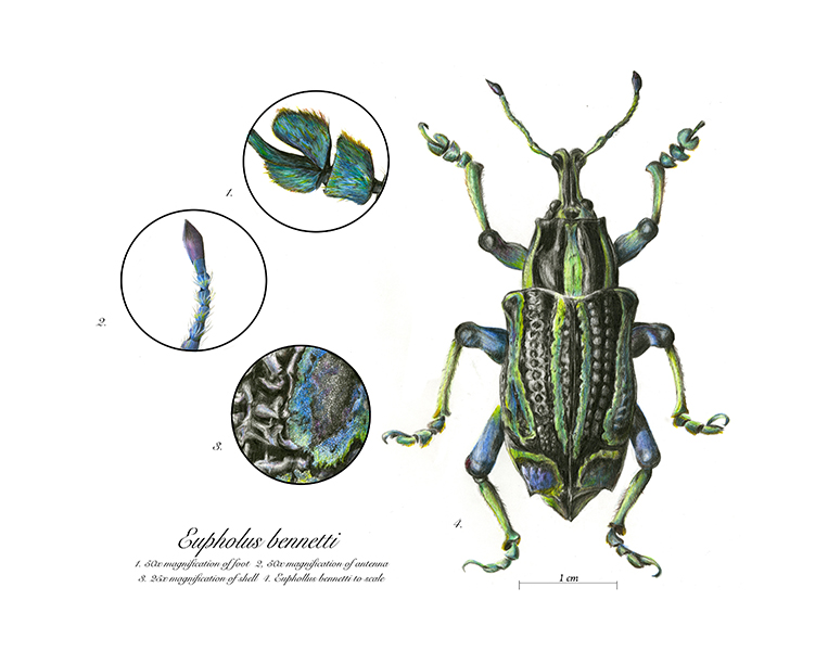 Eupholus bennetti