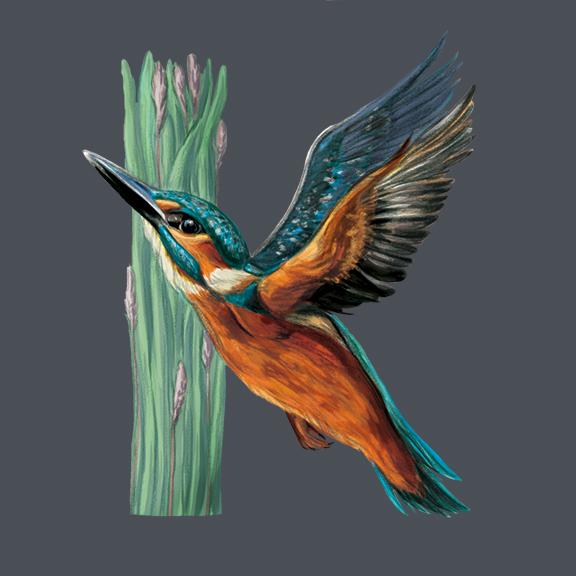 K-Kingfisher_72.jpg