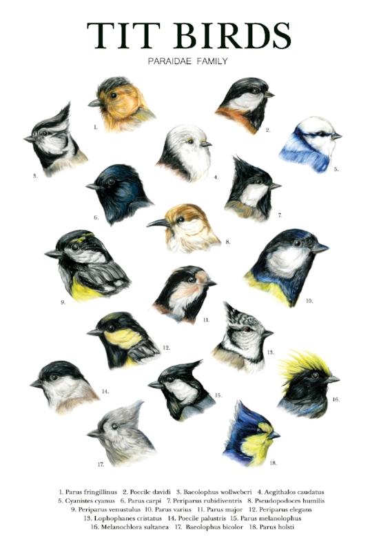 Tit birds 11x17 poster_72.jpg