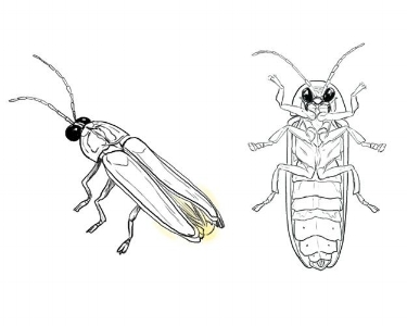 Lightning bug illustrations_WEB.jpg