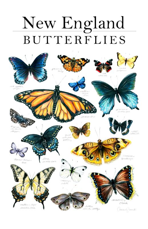 New england butterflies poster_WEB.jpg