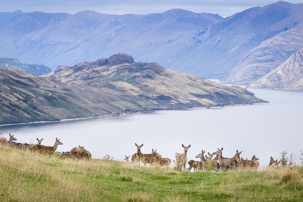 deer-wanaka-photo.jpg