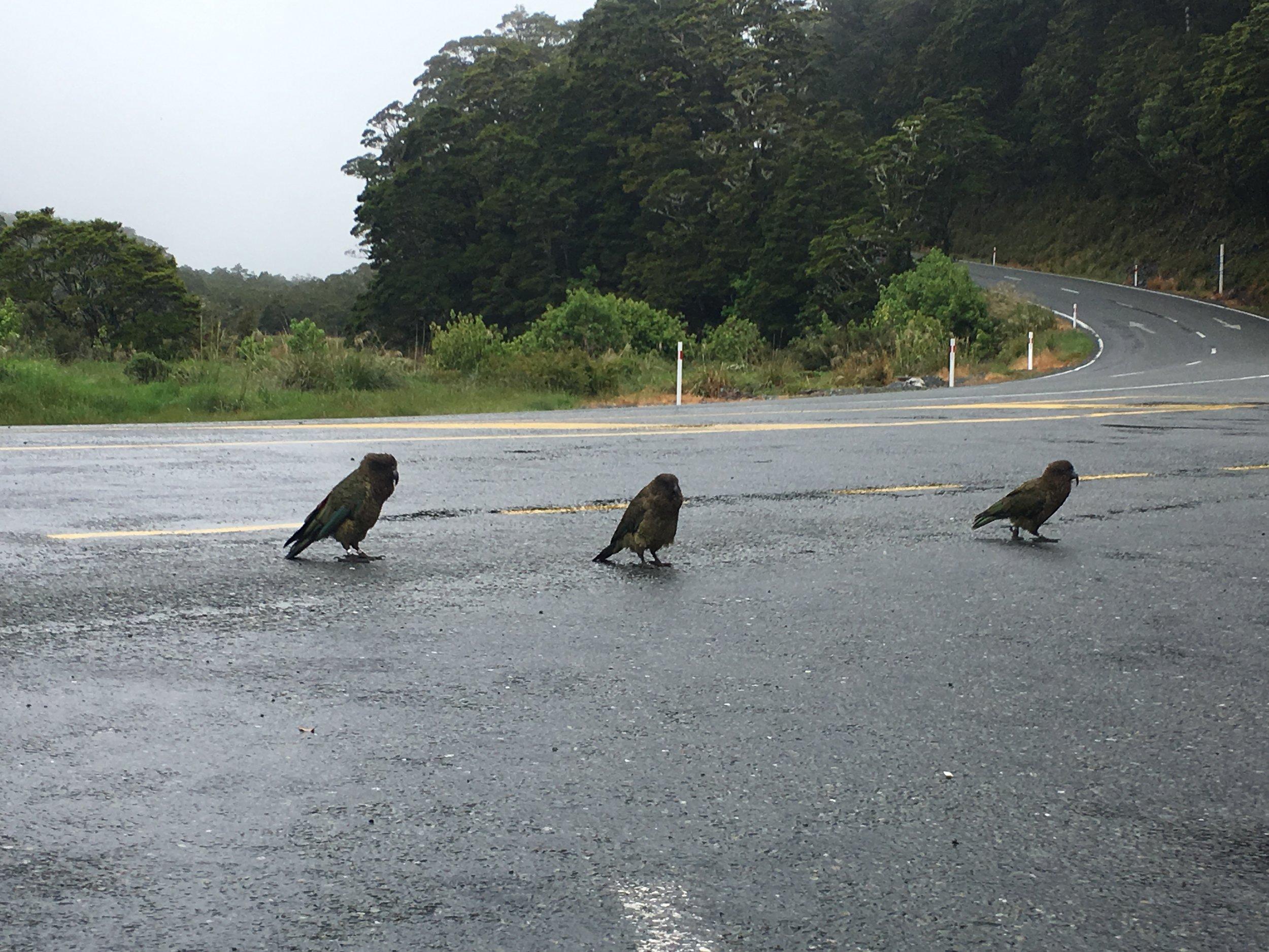 Cheeky Kea birds
