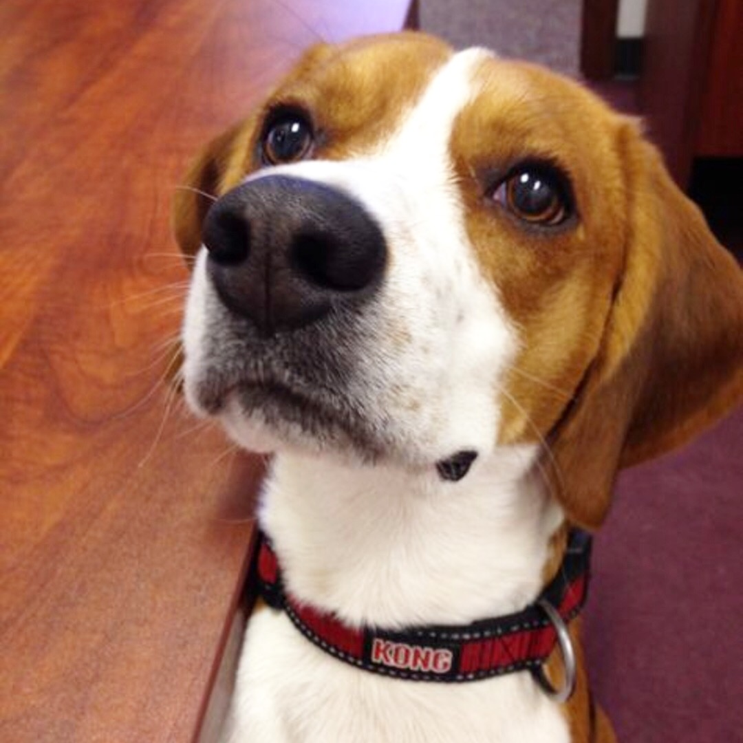 Buddy the Beagle - Buddy is Keith's beagle who loves to come to the office and sunbathe at the front windows!