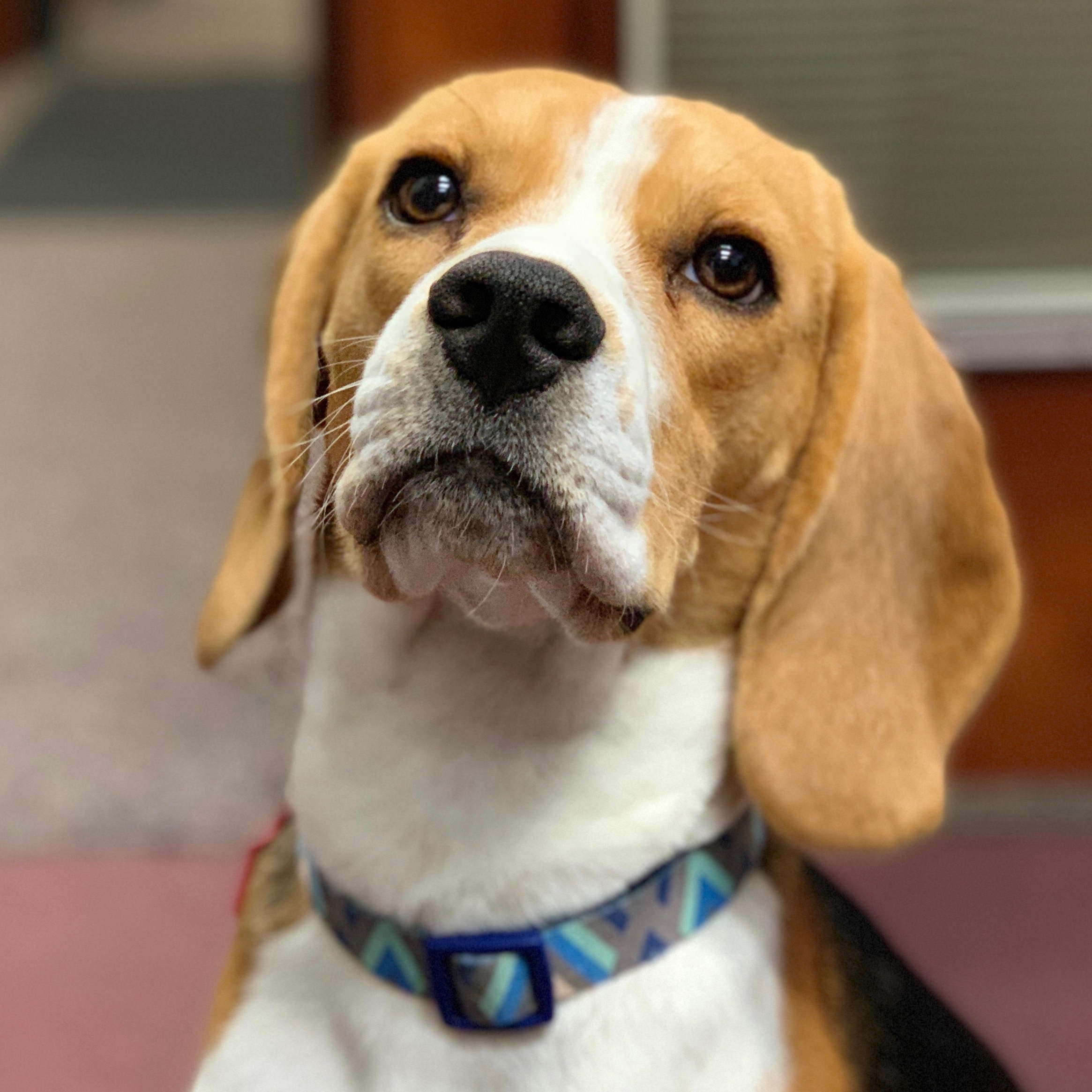 Riki the Beagle - Miss Riki is the accounting team mascot! She loves to raid trashcans and give nose boops!
