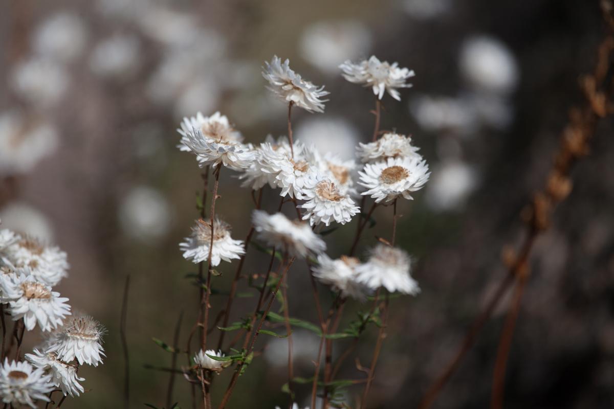 magnolia_mountain_highlands_paper_daisies.jpg