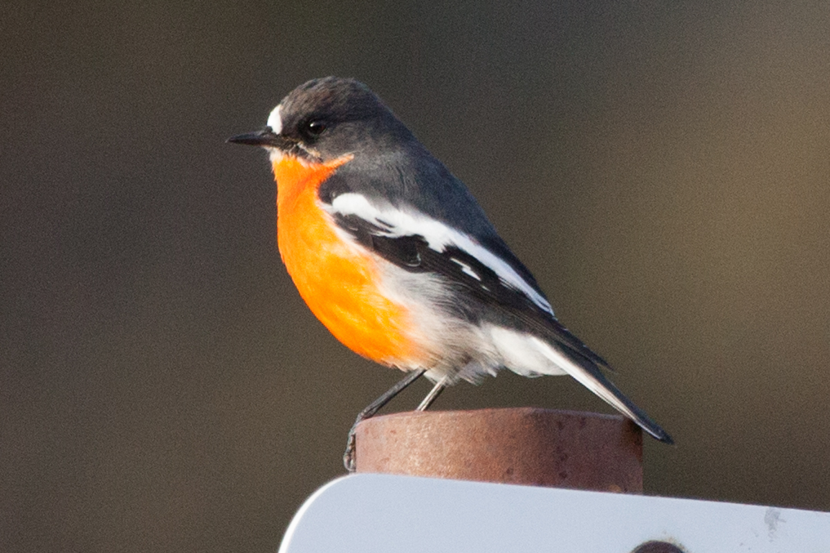 magnolia_mountain_windfall_roadtrip_flame_robin.jpg