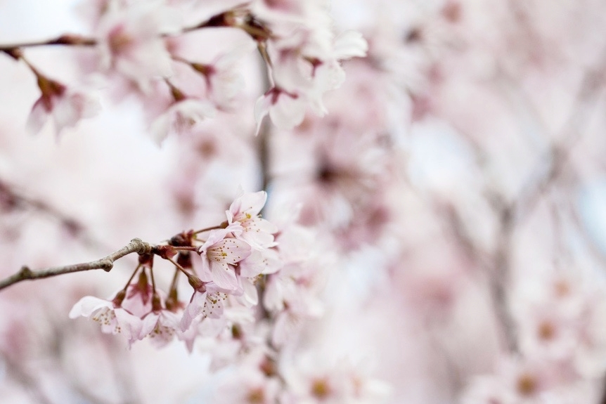 Hanafubuki - SUSPENDED WITHIN A SNOWGLOBE OF SWIRLING PETALS, TIME PAUSES,THIS IS THE EPHEMERAL BEAUTY OF SAKURA SNOW.