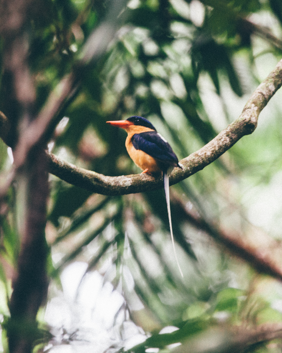 daintree_paradise_kingfisher.jpg