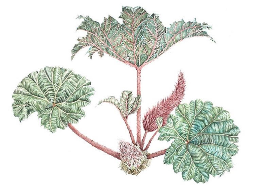 Gunnera Insignis, Watercolour over Graphite, 30 x 22 in, 2018.