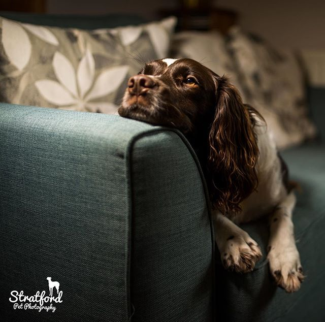 Samson pretending to be a greyhound! #dogphotography #dogportrait #petportrait #petportraits #petportraitphotography #petportraitphotographer #petphotography #pet #petphotographer #englishspringer #springerlove #springerspanielsofinstagram #dogstagram #springerportrait #dogsofa #dogonsofa #dogcouch #dogoncouch #lazydog #goodboy @dogstrust #dogstrustdog #dogstrust