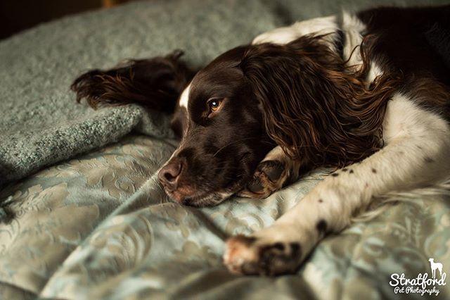 Samson the springer spaniel on 'his' bed.... #springerspaniel #spaniel #springer #englishspringer #englishspringerspaniel #dognose #dogdepthoffield #petphotography #petphotographer #dogphotography #dogphotographer #noseinfocus #nose #bed #dogbed #dogonbed #doginbed #dogoftheday #dogstagram #cute #cutedog #petstagram #petsofinstagram #dogstagram #dogsofinstagram #springerlove #springerspanielsofinstagram #dogeye #dogeyes #piercingeyes