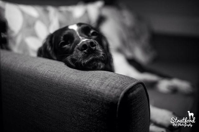 Portrait of English Springer Spaniel, Samson. #englishspringerspaniel #petportrait #dogsmile
