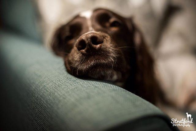 #cutedog #dog #dogstagram #dogdays #springerlove #englishspringerspaniel #nose #dognose