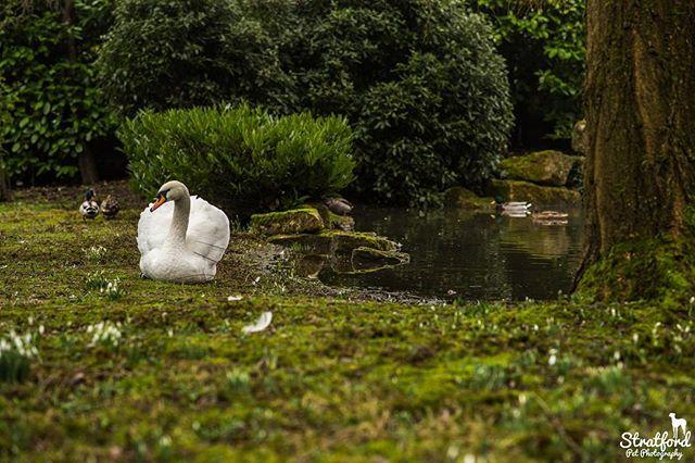 Swan at a private pond. #england #swan #animalphotos #animalphotography