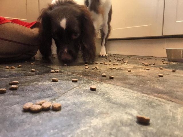 When your dog can't wait........ #dogsofinstgram #dog🐶 #dog #naughty #naughtydog #springerspaniel #spaniellove #lovemydog #bestpets #bestofpets