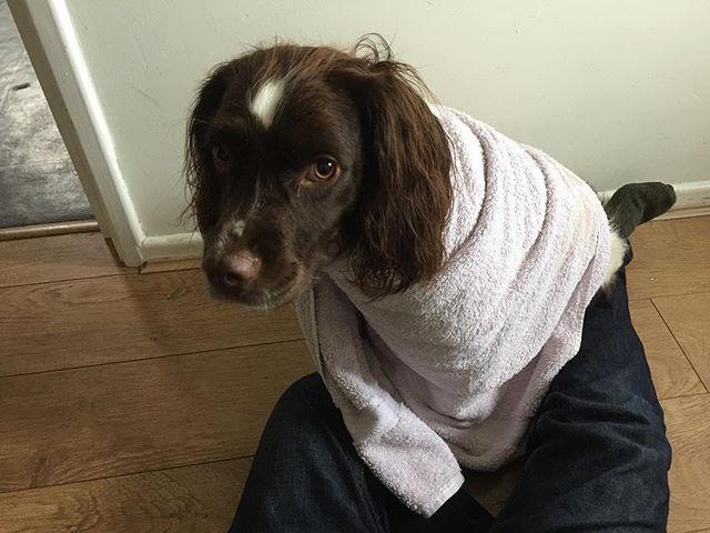 🐶🐕❤️♥️ #toweldog #towel #dog #springerspaniel #englishspringerspaniel #spaniellove #springerspanielsofinstagram #dogstagram #instadog #photooftheday #funny #funnydog #funnypets #funnyanimals #wetdog #puppyeyes