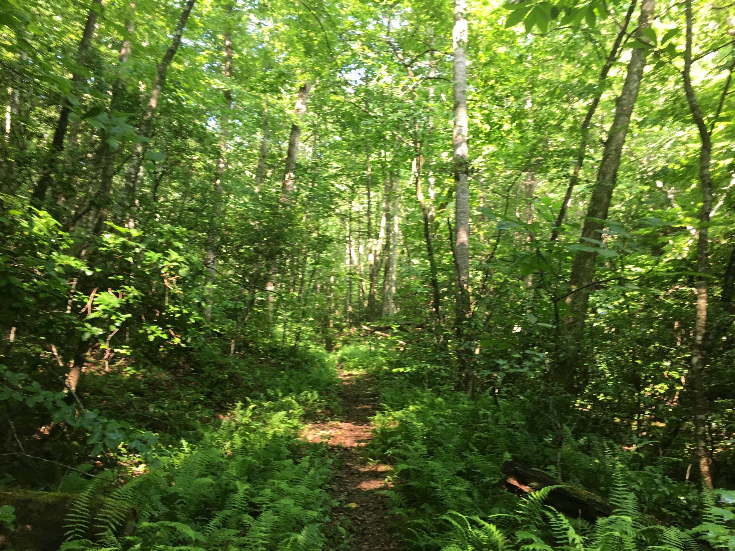 Singletrack through the lush forest leading toward Winding Blade Road.