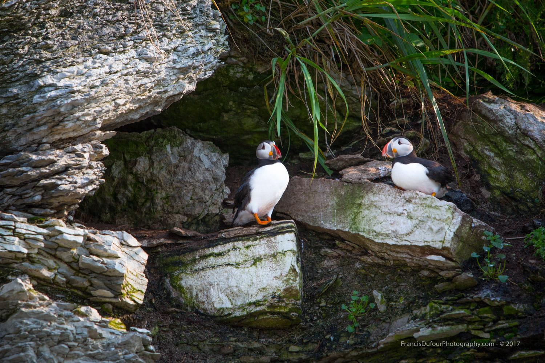 Macareux de l'île aux Perroquets