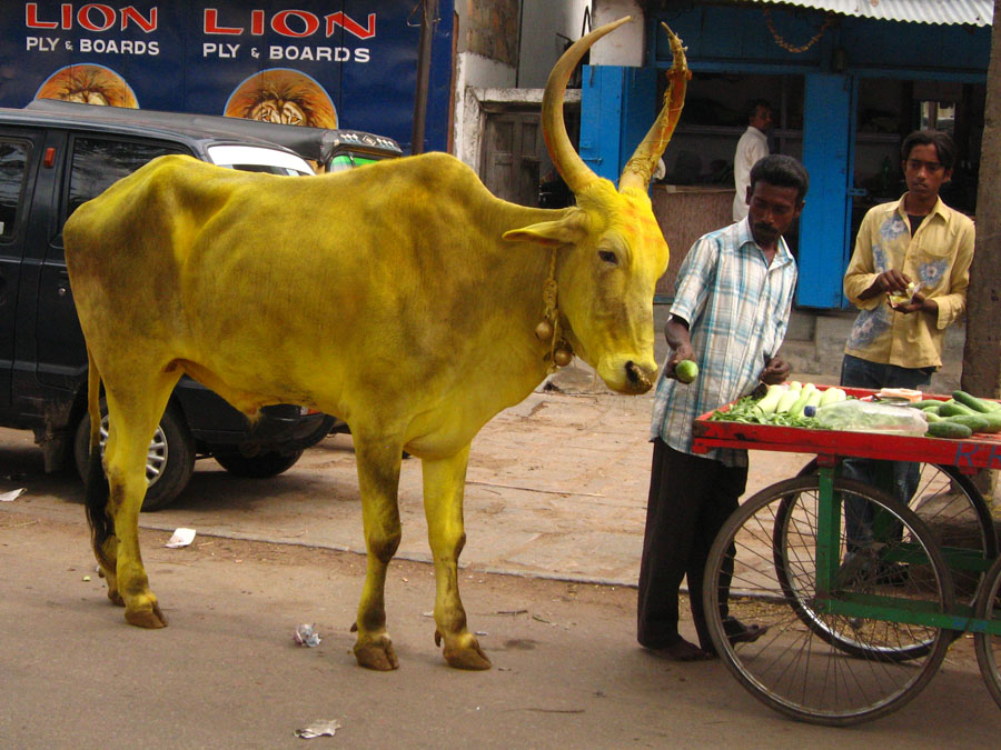 Tumeric colored bull being offered a snack in Mysore.jpg