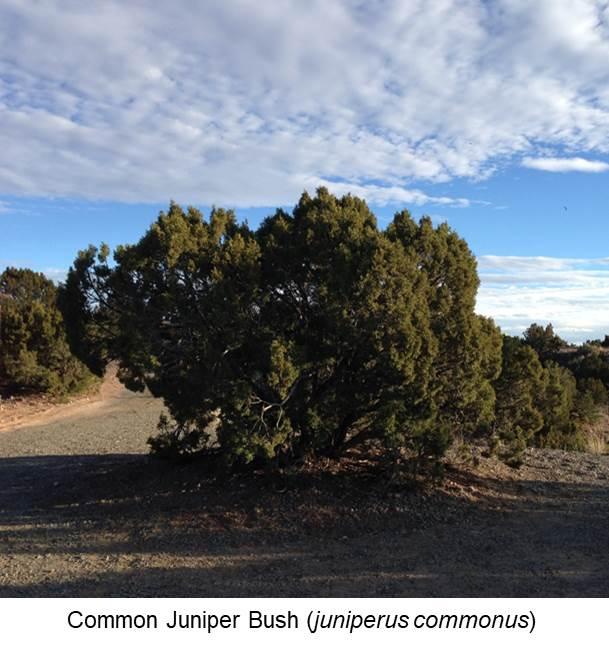 Common Juniper Bush (juniperus commonus).jpg