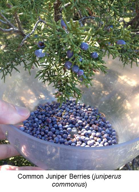 Common Juiper Berry Picking (juiperus commonus).jpg