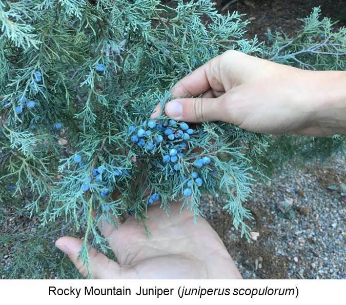 Rocky Mountain Juniper (juniperus scopulorum).jpg