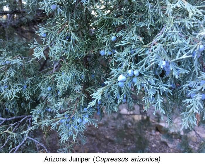 Arizona Juniper (Cupressus arizonica).jpg