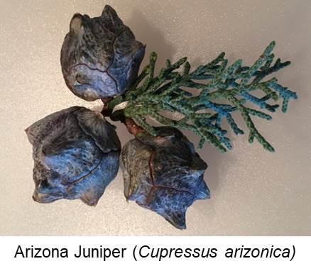 Arizona Juniper Berry Closeup (Cupressus arizonica).jpg