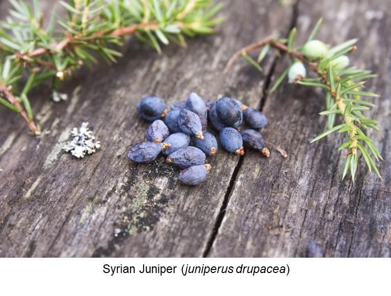 Syrian Juniper (juniperus drupacea).jpg