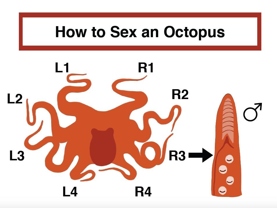 how to sex an octopus.jpeg