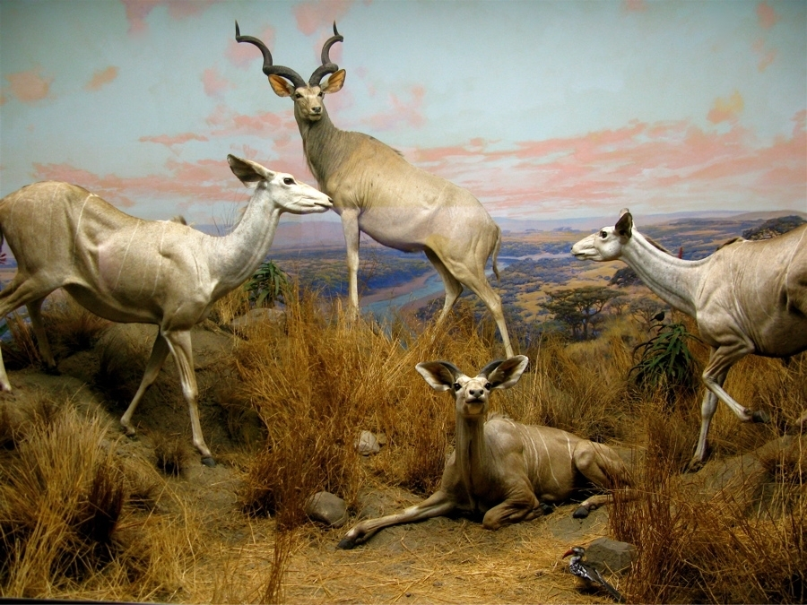 dioramas at the Am. Museum of Natural History