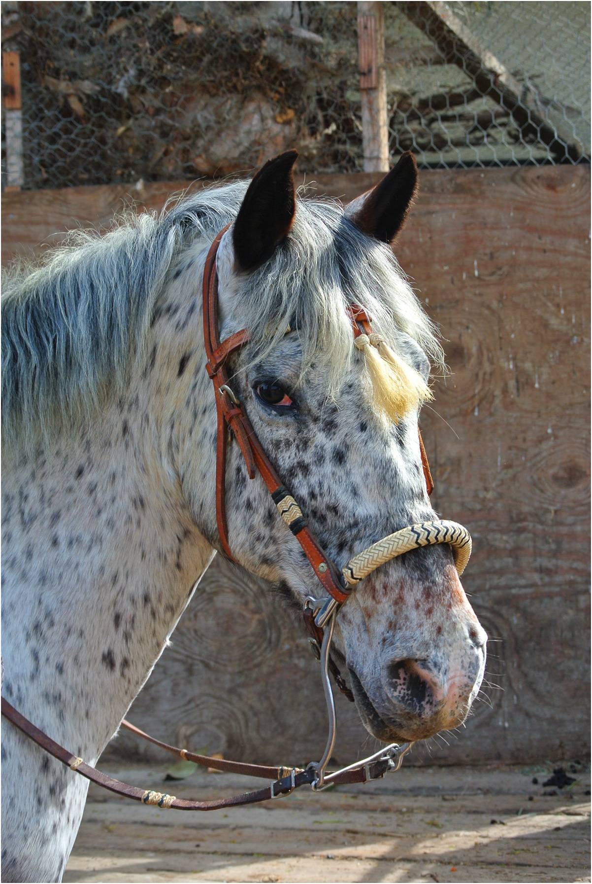 Cheeto - Appaloosa GeldingCheeto came to us a few years ago extremely frightened with visible scars and signs of previous abuse. Through the consistent care and love of our staff and volunteers, Cheeto has become a gentle and affectionate guy and we are so grateful to have him as part of our family.