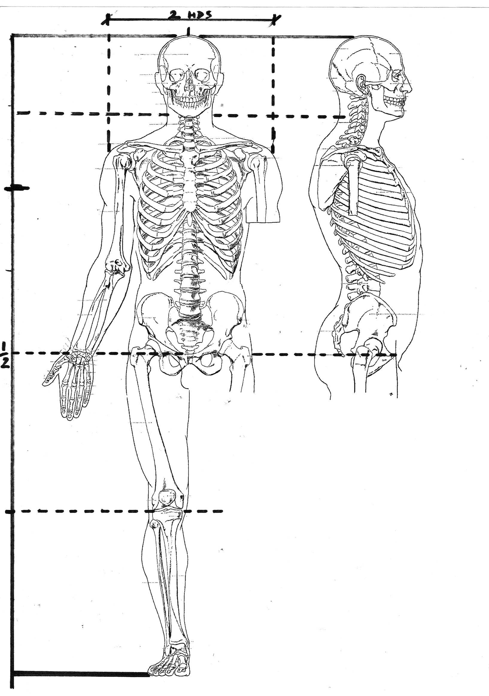 """This diagram is adapted from the 19th century text """"Artistic Anatomy"""" by Paul Richer"""