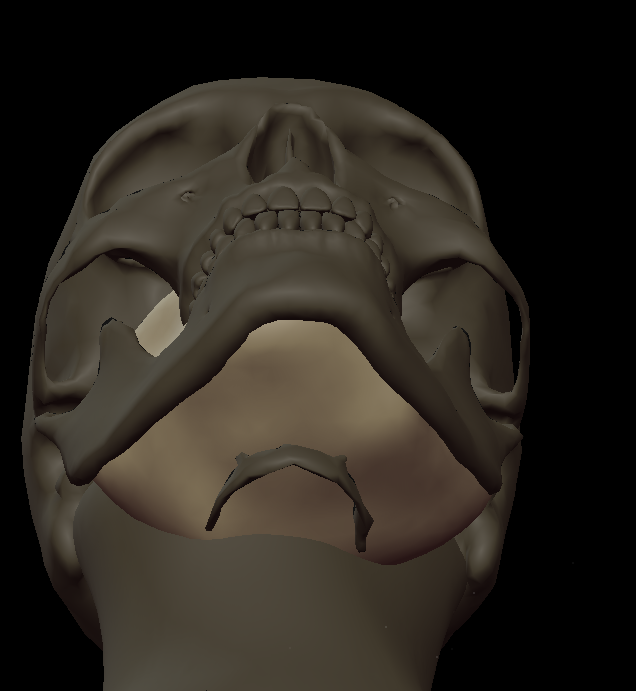 5 Mandible to hyoid 3.png
