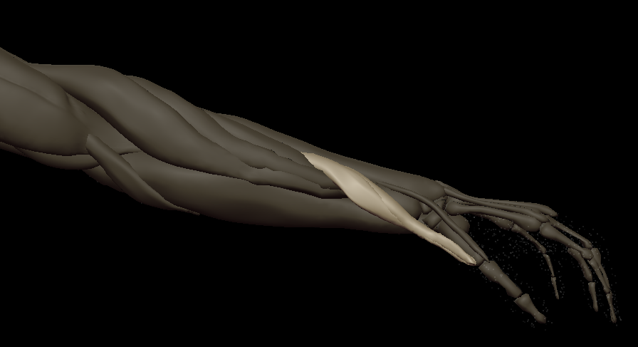 F thumb muscles 2.png