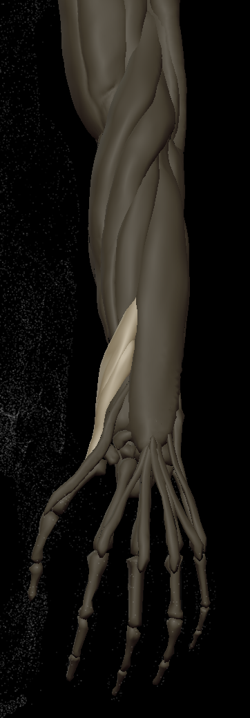 F thumb muscles 1.png