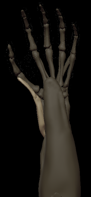 F thumb muscles 3.png
