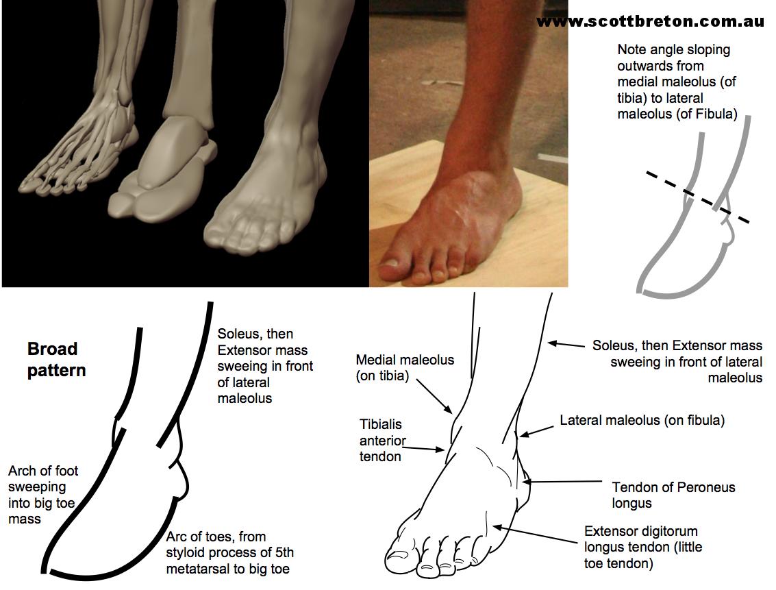Diagram from Scott Breton's  Form, Gesture, Anatomy Course