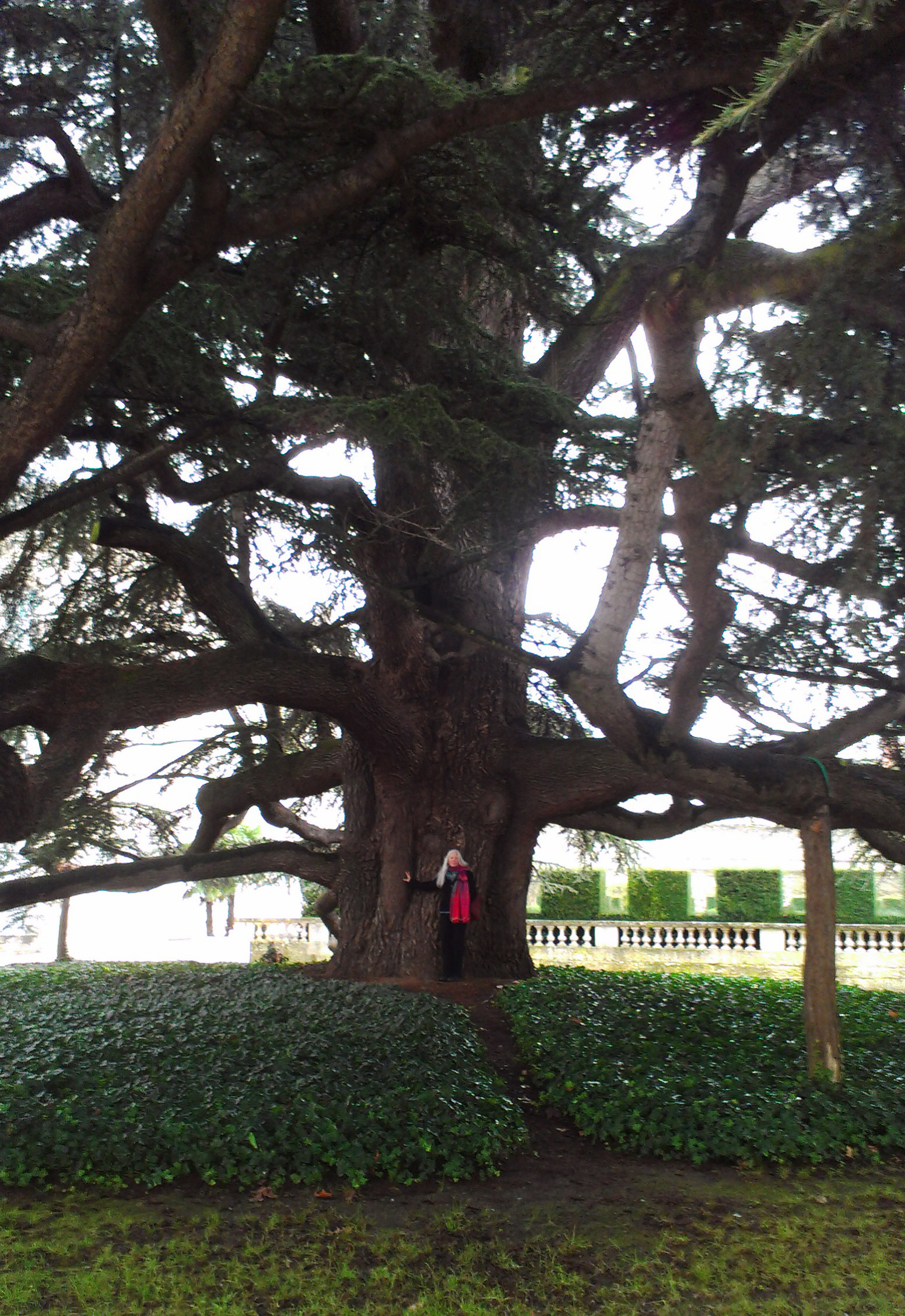 Communing with an enormous Lebanon Cedar next to the Cathedral in Tours, France.