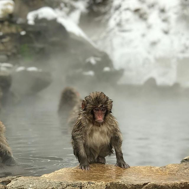 Monkey: Why the shit is it so cold?? Najiah: my sentiments exactly. . . . . . #monkey #snowmonkey #japan #travel #nagano #holiday #onsen