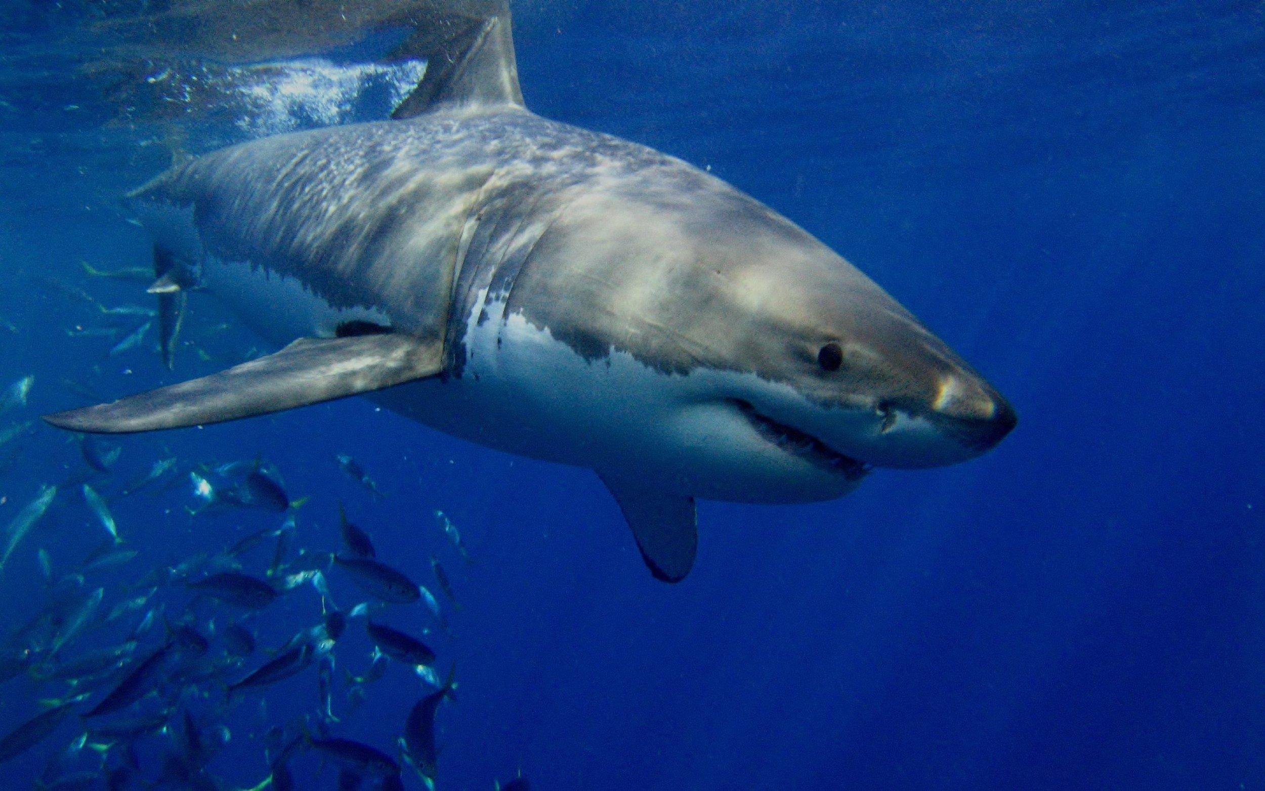 WHITE  SHARK CAFÉ -