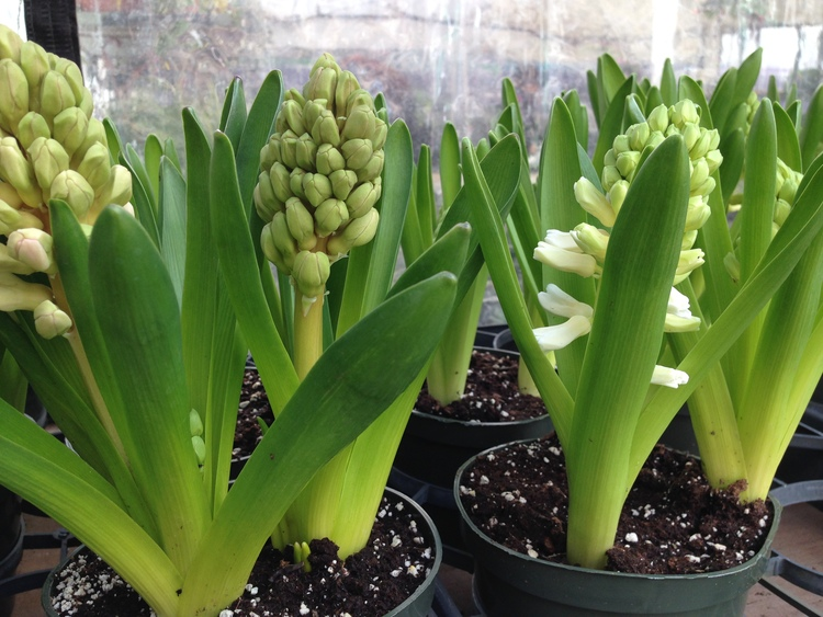 Fragrant Hyacinths for your home