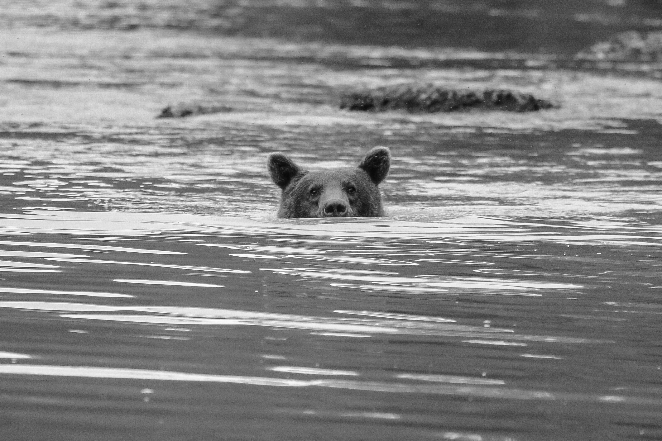 Coastal Brown Bear eyeballing me while fishing in Chilkoot Lake near Skagway, Alaska. © Craig Durling
