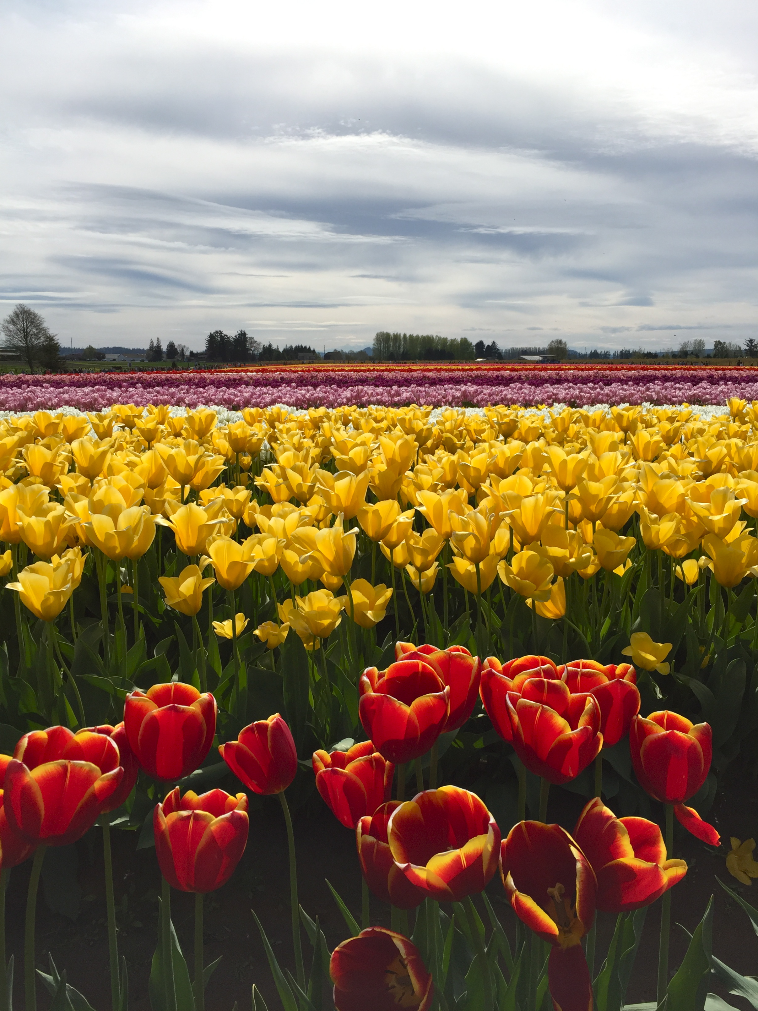 tulip_3.jpg