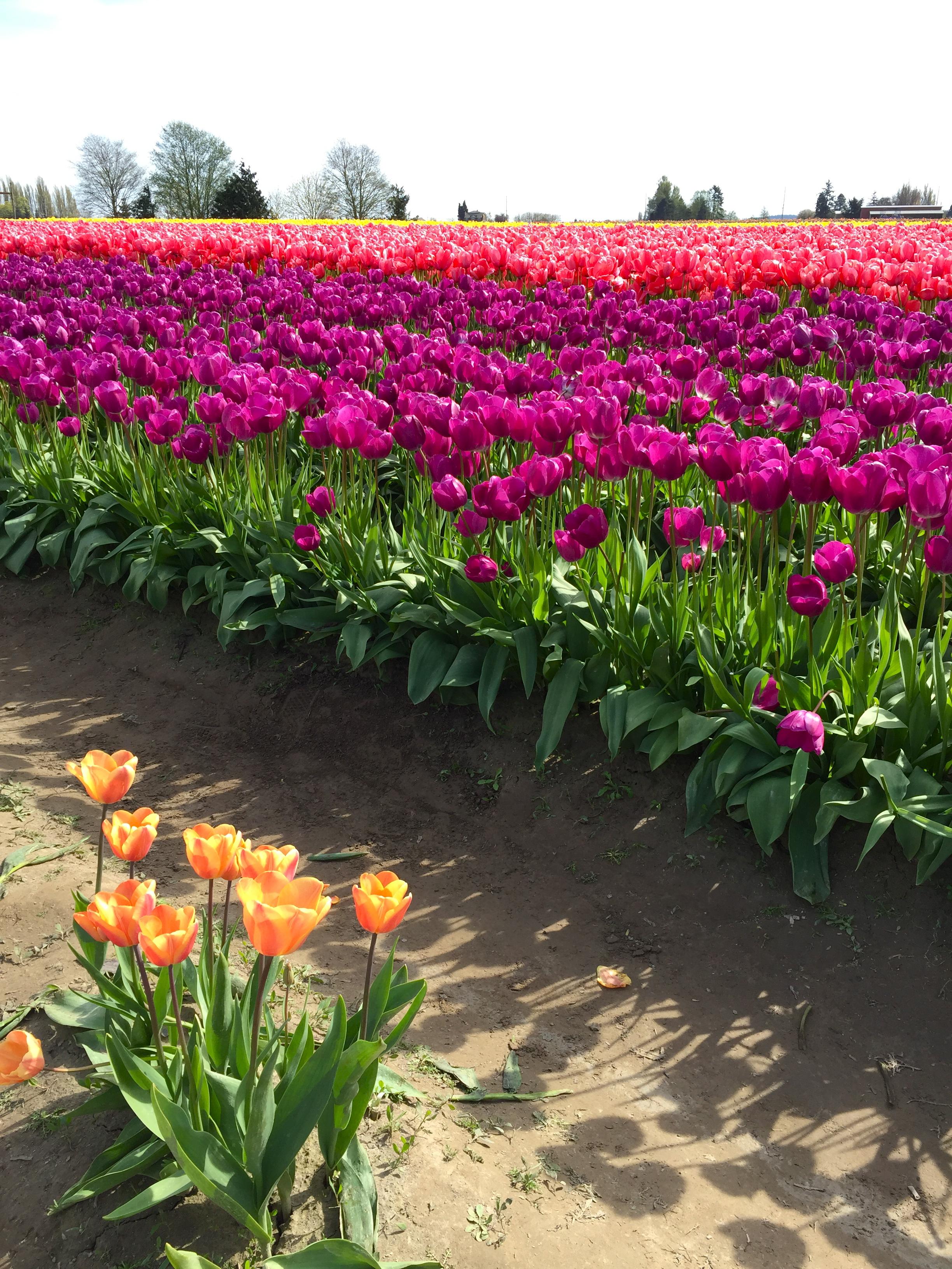 tulip_7.jpg