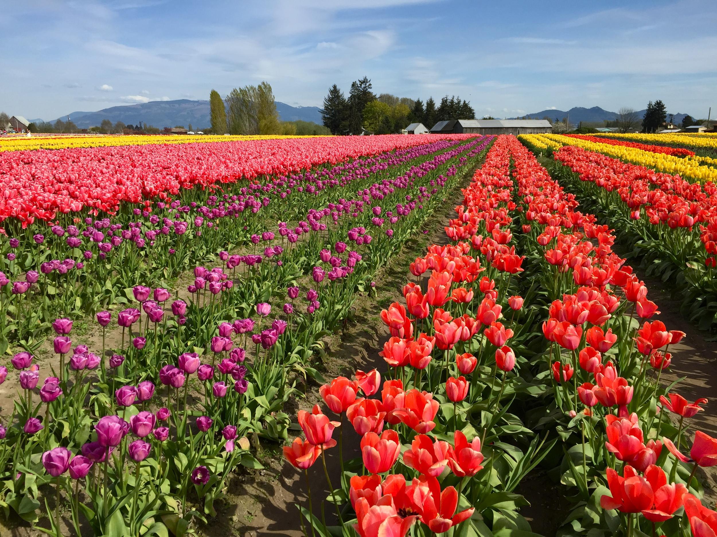 tulip_15.JPG