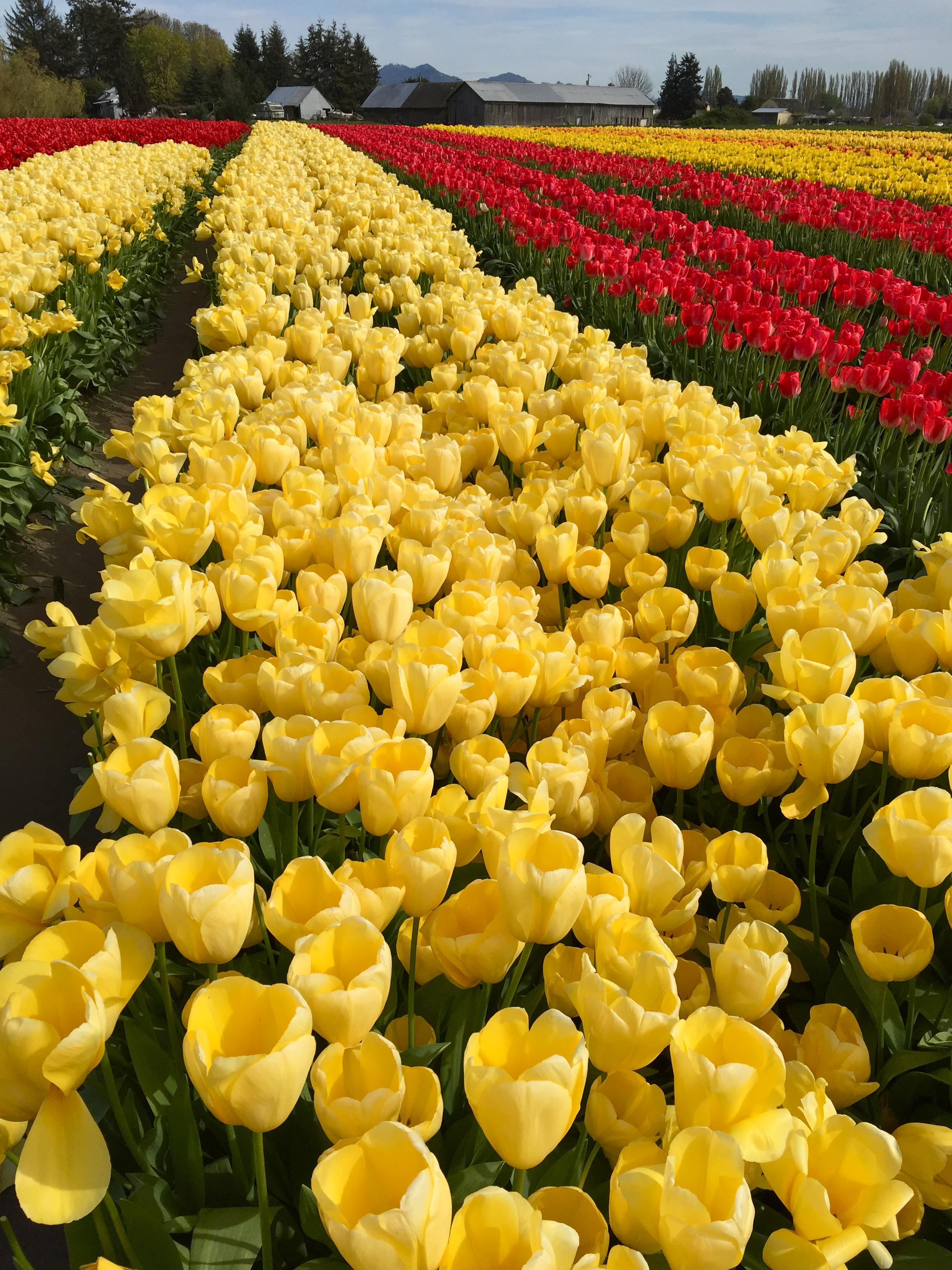 tulip_17.jpg