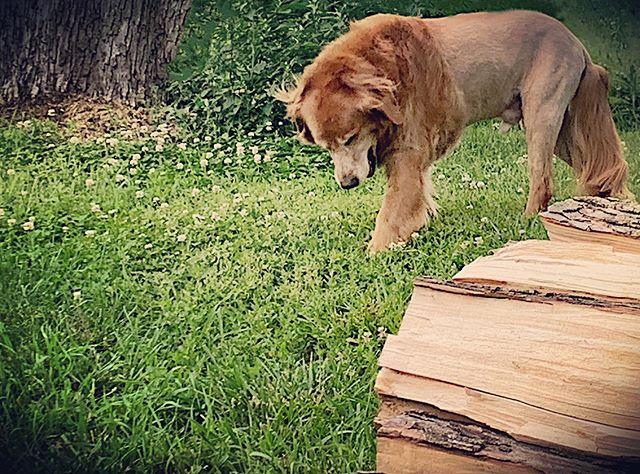Feeling tough and proud - Our golden retriever got a lion haircut. 😂😂😂 #goldenretriever #lion #dog #summercut