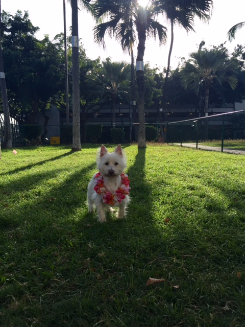Old Dog at the park in Oahu waiting on his flight home to Maui